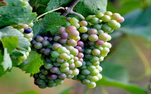 العنب مصدر الصحّة والجمال