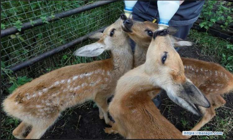 طفرة في مواليد حديقة حيوان روسية بسبب كورونا