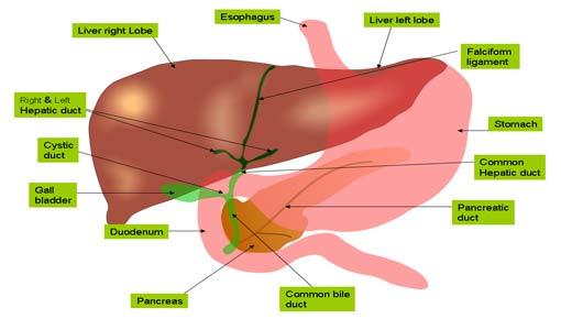 ماذا تعرفون عن الكبد والمرارة؟