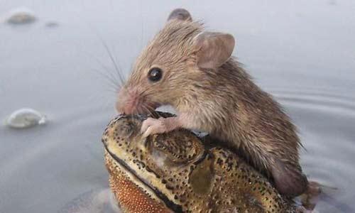 ضفدع ينقذ فأراً من الغرق
