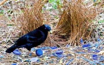 عصافير تسرق بيوت