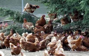 ملابس تحمي دجاج بريطانيا من الدهس