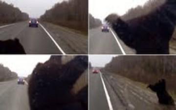 سيارة مسرعة تقذف بدب في الهواء