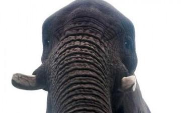 فيل يلتقط صورة «سيلفي» لنفسه