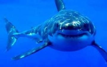إصطياد أكبر سمكة قرش في كاليفورنيا
